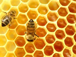 شراء عسل النحل هو عبارة عن مادة غذائية هامة تحتوي علي سكريات أغلبها أحادي وخمائر وأحماض أمنية وفيتامينات متنوعة ويتم تصنيع العسل من رحيق الأزهار الذي تجمعه شغالات النحل من الأزهار المتنوعة والمنتشرة في حدود المرعي حول المنحل وبعد أن يتحول هذا الرحيق عبر عمليات