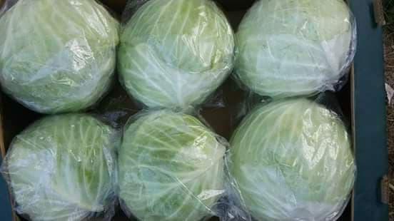شراء Fresh cabbage (red - white - green)