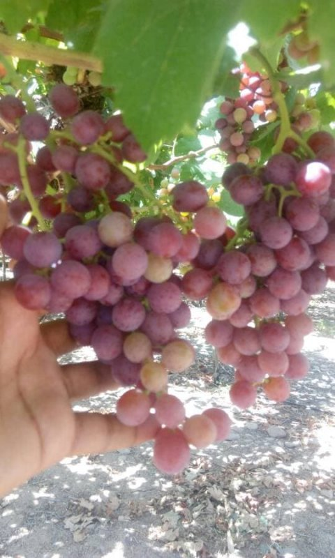 Sweet Grapes ( Superior , flame, crimson, red globe, king ruby) crops 2019