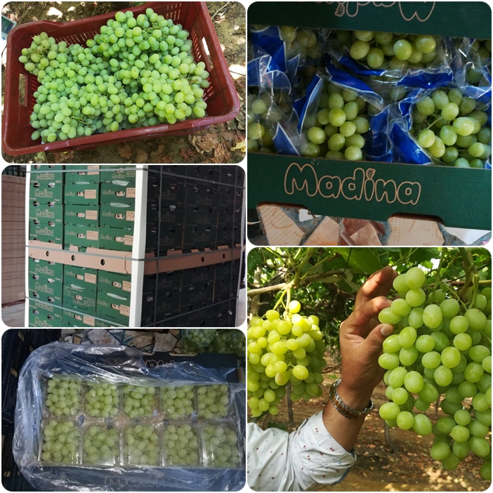 """شراء Seedless White Grapes """"Superior"""""""