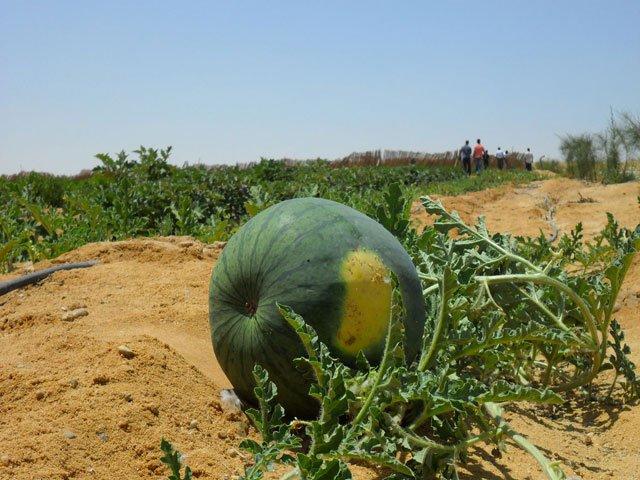 شراء البطيخ فى افرولاند