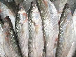 شراء سمك بورى