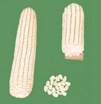 شراء الذرة الشامية