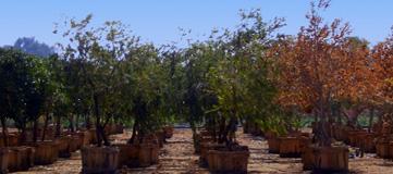 شراء الأشجار