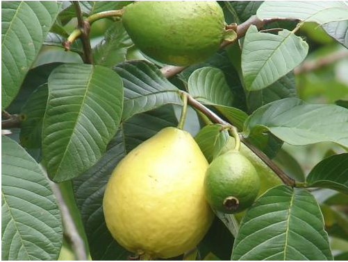 شراء Guava