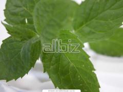 Spearmint (Mentha viridis)