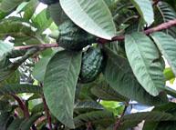 Guava Paper