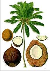 اشجار جوز الهند