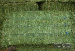 Shorbagy(Alfalfa)