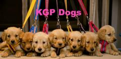 KGP Dogs Golden Retriever