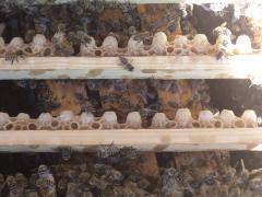 غذاء ملكات نحل العسل