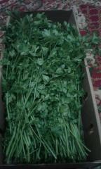 Свежая зелень петрушки (зелень)