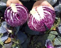 FRESH RED CABBAGE - GRADE A