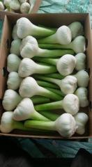 WHITE AND RED FRESH GARLIC - CROPS 2019 - NEW