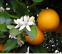 Plants citrus