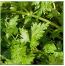 Seeds of parsley