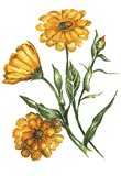 Flowers of Marigold