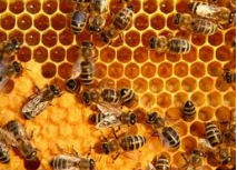 Milk of bees uterine
