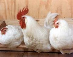 شركة أبو شامة لمنتجات الطيور والدواجن