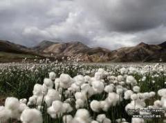 Grass cotton