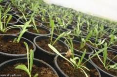 أهم المنتجات الزراعية يمكن تجميعها بصورة عامة في