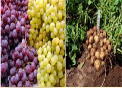 Nitrogen fertilizers