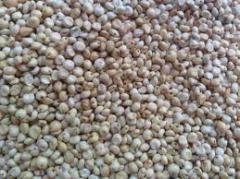 بذور الذرة البيضاء
