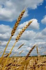 Flour of durum wheat