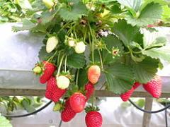 Strawberry compotes