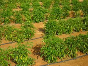 Enterprises agricultural