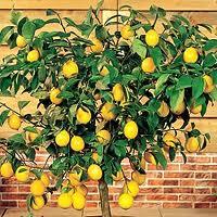 Plantones de limonero