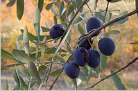 Canned olives