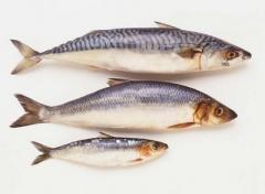 Aulonocaras (fish)