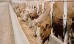 اعلاف الابقار و الماشية