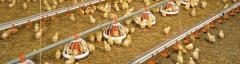 Compound feed for broiler chickens