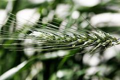 Crop rye