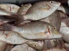 Afiosemion (fish)