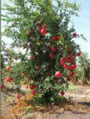 اشجار الفواكه