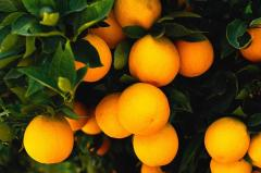 البرتقال المصرى