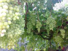 العنب الاخضر المصرى الممتاز