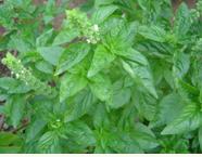 Basilic essential oils
