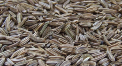 Cumin essential oils