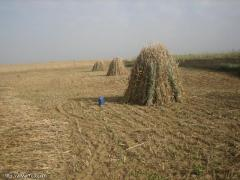 يعتبر محصول الكتان من اقدم محاصيل الألياف التي