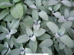 Sage ( crushed or leaves)