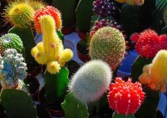 Cactuşi fructe
