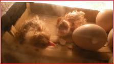 تفريغ  البيض