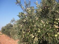 Seeds of olives