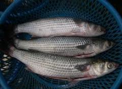 السمك البورى