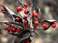 نبات عين الديك النادر يستعمل جذر نبات عين الديك في