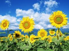 زيت بذرة عباد الشمس للتصدير